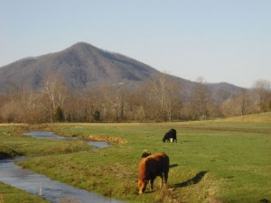 Grazing on Pasture--the Best Life for a Cow