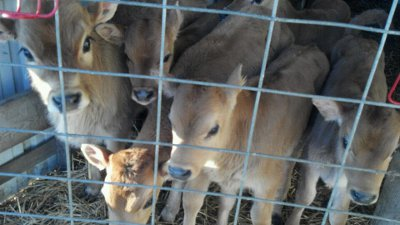 Chisholm-Family-Farm-Calves