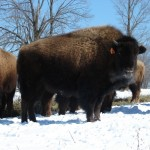 Grassfed Ranchers Restore the Bison and Renew the Soil