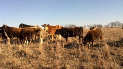 Chisholm-Family-Farm-Dairy-Cows