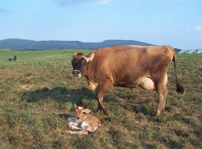 Mama-cow-and-newborn-calf