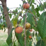 All American Persimmon: An Edible Landscaping Beauty