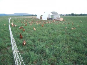 Shank-chickens-on-pasture