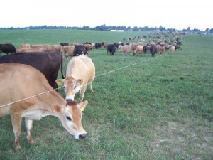 Shank-cows-on-pasture