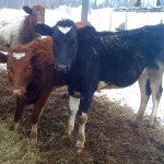 Adopted Holstein Thrives in Milking Shorthorn Herd