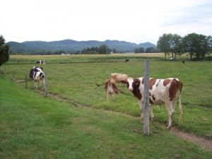 cook-farm-cows